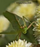 Scudder's Bush Katydid   Genus Scudderia