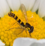 Hover Fly male   Sphaerosphora sp.