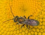 Metallic Copper Bee, Hoplitis fulgida fulgida