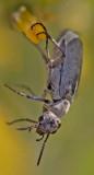 Gray Blister Beetle