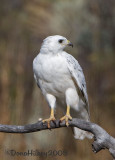 White Red-tailed Hawk