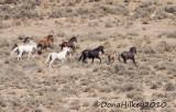 August 16, 2010 Sand Wash Basin Wild Horses