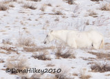 White Out, Sand Wash Basin band stallion