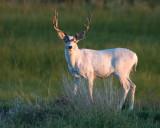 Meeker's White Mule Deer Buck