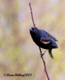 Red-winged Blackbird in the Rain