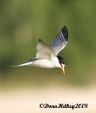 Least Tern at Rio Blanco Lake