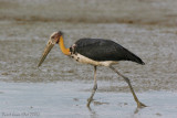Birds of Peninsula Malaysia