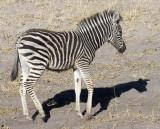 Baby Burchell's Zebra