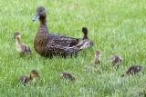 Duckings