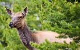 1774 Elk