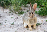 0188 Badlands Rabbit