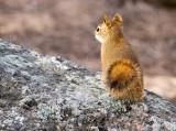 0257 Rushmore Squirrel