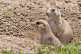 0294 Prarie Dogs