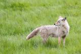 1726 Coyote
