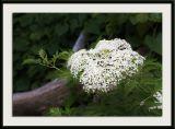 Elderberry Blossoms