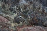 Bedded Buck