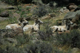 Three Bedded Rams