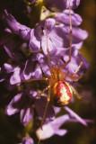 Crab Spider(01).jpg