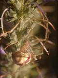 Crab Spider(02).jpg