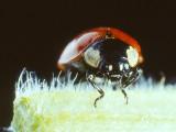 Ladybird Beetle (0002).jpg