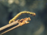 Looper Caterpillar.jpg