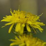 Ants in the Dandelions