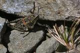 Alpine Grasshopper on Mt Feathertop