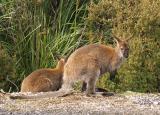 Bennetts Wallabys near Dove Lake