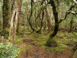 Fagus forest