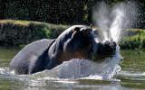 Lower Zambezi - Angry Hippo.. We were in a Canoe !