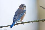 Bluebird on white