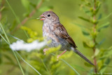 A Sparrow swallow