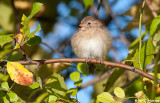 Fluffy Field Sparrow