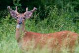 Deer in tall grass