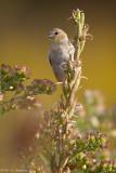 Goldfinch in autumn