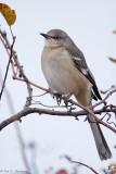 Quiet Mockingbird