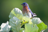 Bluebird and leaves