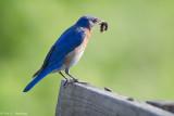 Bluebird and caterpillar