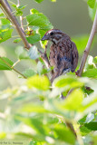 Sparrow in leaves