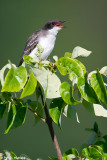 Kingbird calling