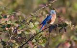 Bluebird in the bush