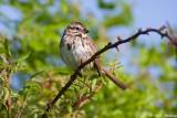 Thorny perch