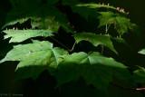 Light on maple leaves