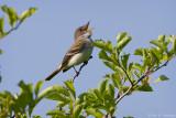 Singing Flycatcher