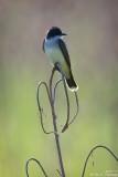 Backlit Kingbird