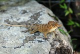 13-0663 Crested anole