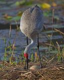 A Sandhill Crane Storybook of Valrico Florida 2006