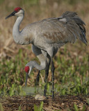 The New Sandhill Crane Storybook Of Palmetto Florida 2008