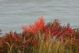 Slender Glasswort