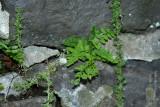 Blunt-lobed Woodsia (Woodsia obtusa)